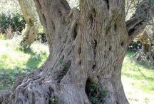 OLIVO olive-tree / arboles