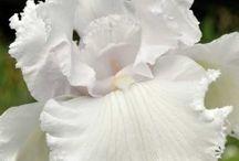 kwiat-iris