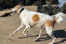 Boris the Borzoi