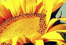 Girasole/Sunflower/Ayçiçeği/Sonnenblume/Himawari / by Bubu