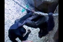 Chimp fight in zoo