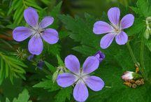Pihan kasvit / Luettelo kasveista, jotka kasvavat puutarhassani. Aluksi kuvat ovat netistä, mutta kunhan kukkivat, saatan vaihtaa ne omiksi kuviksi. Pysyn hieman perillä, mitä pihassa kasvaa :)