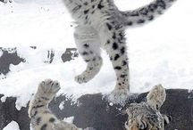 Snow Leopards Divine Divine