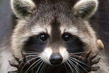Mosómedve MÁNIA / a táblám mosómedvékről szól azért ezt az állatot választottam mert nem sokan ismerik és nem is tudják milyen cuki.Nekem is van egy mosómedvém otthon kisfiú és úgy hívják Zórró.