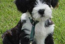 Tibetan Terrier LOVE!