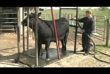cattlec washing and clipping