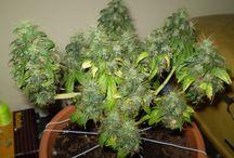 mother bonsai