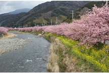 cherry blossom  / love