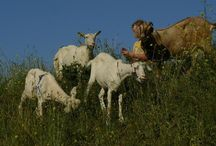 Sheep, Goats, Pigs and 4 legged Critters / Sheeps, Goats, Pigs, cows and even guard dogs for your property.  / by Permies