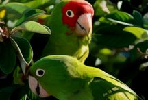 FlockCall.com / FlockCall.com helps every person interested in, concerned for, and caring for parrots to do all that better, faster and with stronger results. Globally available, FlockCall.com will allow ANY parrot need or rescue issue to be addressed anywhere in the world. The coming years will bring growth and evolution inside FlockCall.com with new tools and functions always being added. I hope you'll join us as we build a strong, knowledgeable community so every parrot, everywhere, has a happy home.