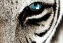 Big Cats / My love of all these Big Beautiful animals