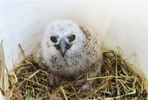 Baby owl / Baby owl pictures
