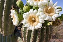 Dessert Blooms / Exclusively dedicated to cacti flowers that set the desserts ablaze, whenever they bloom :-)