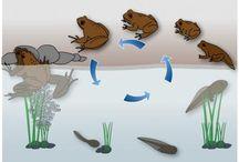 Froskens metamorfose