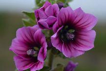 mallow / mallow flower
