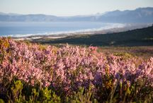 Our Reserve, Cape Floral Kingdom / The 2500 hectare Grootbos Private Nature Reserve is a jewel in the crown of the Cape Floral Kingdom offering guests a complete immersion into the wondrous and magnificent world of fynbos. The rolling hills, mountains and valleys of Grootbos are home to a wide variety of fynbos types as well as pockets of afromontane and ancient milkwood forests.  / by Grootbos Private Nature Reserve