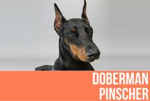 Doberman Pinscher / A square, medium-sized dog, the Doberman Pinscher is muscular and possesses great endurance and speed. He is elegant in appearance and reflects great nobility and temperament. The properly bred and trained Doberman has proved itself to be a friend and guardian, and his intelligence and ability to absorb and retain training have brought him into demand as a police and war dog. The Doberman's short, hard coat can be black, red, blue and fawn.
