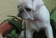 Pug blanc