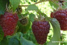 Como plantar y cultivar frambuesas / Hay referencias de su cultivo y consumo en culturas griega y romana, es muy sencillo cultivarlas en una zona de la huerta o del jardín. Aquí te enseñamos.