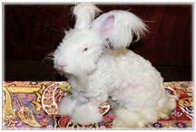Кролики породы Немецкая ангора, German Angora Rabbits / О жизни кроликов породы Немецкая ангора в России в городе Санкт-Петербург.