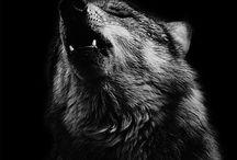 Loup, Wolf / Image de loup