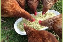chicken tips