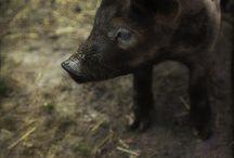 ZWIERZĘTA - Świnie i świnki