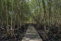 Manguezal / Mangrove