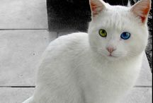 Van kedisi-(Van cat ) Turkey