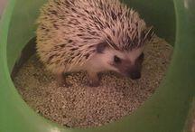Hedgehog, pygmy ježek :) / AFG Inferno neboli Ďáblík :) Náš domácí mazlíček, africký pygmy ježek :)