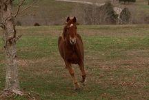 L'American Walking pony / American Walking Poney signifie « poney américain marcheur », c'est une race qui est venu à la suite de nombreuses années de croisements, principalement entre le Tennessee Walking Horse et le poney Welsh.