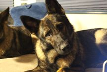 Kyra (German Shepherd) / K9Kyra is a working line GSD who is trained in explosive detection, protection and tracking. She is a super social dog with both humans and dogs and lives with our family as a companion dog as well.