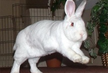 Rabbit Binkies / One of the best things in life is to witness is a Rabbit Binky.  Those adorable acrobatic leaps, zooms and twists do for fun. Need a full cute bunny fix? Check out our BinkyBunny Gallery http://binkybunny.com/PHOTOS/tabid/80/Default.aspx