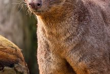 Fossa / Coolest looking animal / by Dan Hernandez