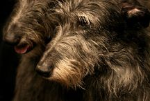 Scottish Deerhound / Scottish Deerhound http://www.rosyandrocky.com/