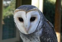 owl - wolf