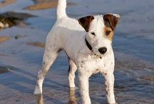 Jacks! / Just for jack russell