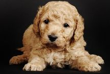 Tiny Goldendoodles / Tiny Goldendoodles born to Sadie and Sting on February 14!