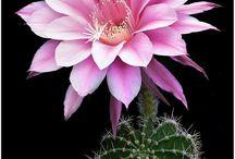 kaktuszok,szukkulensek