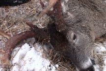 Deer hunting // Hirvieläinten-metsästys