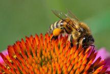 L'abeille / Des images d'abeilles, dans leurs habitats, en mouvement...