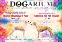 """Dogarium """"A"""" litter - whippets"""