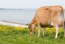 VikingJersey / VikingJersey is economic, healthy and fertile cows with high production in fat and protein and functional conformation.