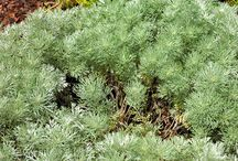 Artemisia - 2014 Herb of the Year / by Herb Society of America