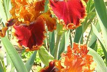 Blyth's irises