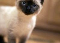 Siamese cats <3