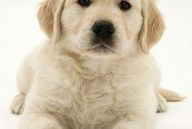 golden köpekler