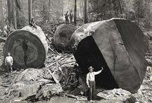 Деревья гиганты