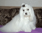 Maltese / International Dog's Personal Websites Catalogue