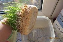 Зерно выращивание